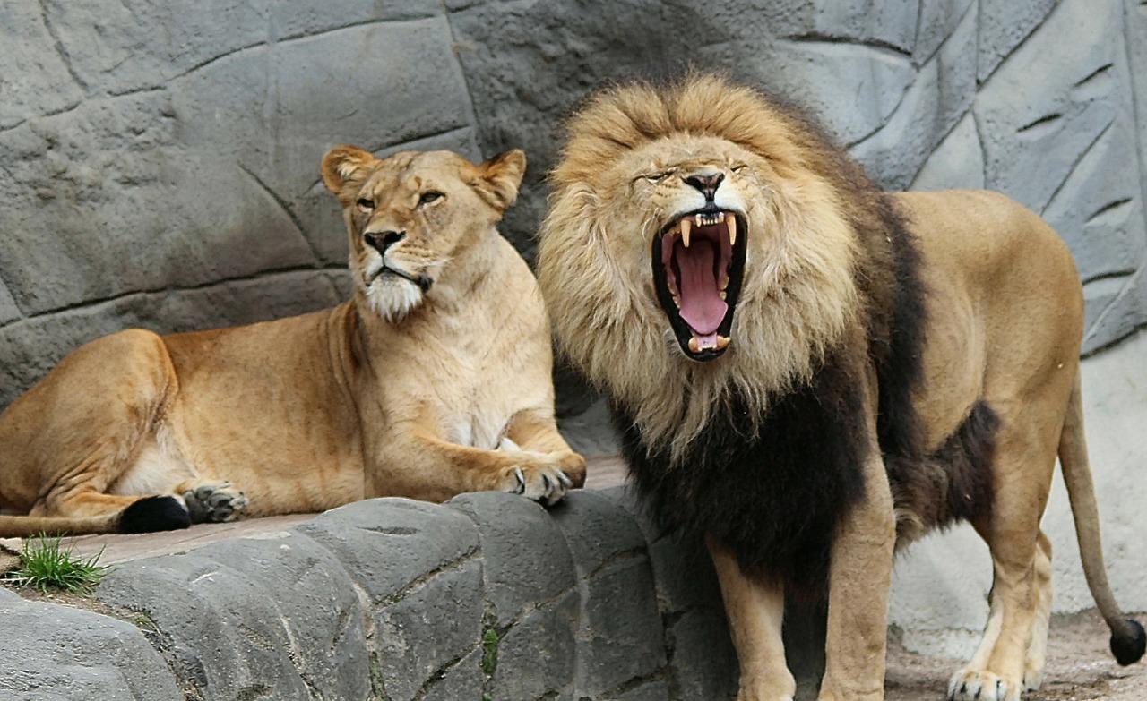 lion-343387_1280